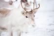 canvas print picture - Reindeer