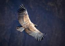 Andean Condor Over The Colca C...