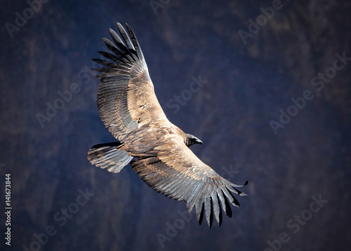 Andean condor over the Colca Canyon
