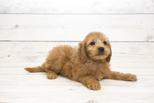 Mini Goldendoodle Puppy On White Wooden Backdrop