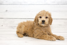 Goldendoodle With White Wooden Background