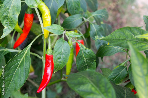 Poster Hot chili peppers Colorful chili plant background