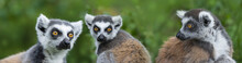 Ring - Tailed Lemur (Lemur Cat...