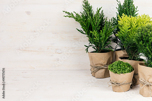 Fotobehang Bonsai Assortment young green conifer plants in handmade pots with copy space on beige wood table.