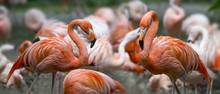 Pink Flamingos In Group