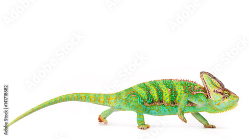 Spoed Foto op Canvas Kameleon Veiled chameleon (chamaeleo calyptratus) close-up.