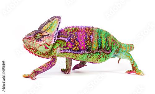 Foto op Plexiglas Kameleon Veiled chameleon (chamaeleo calyptratus) close-up.