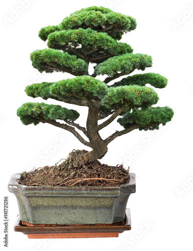 In de dag Bonsai green bonsai pine tree in pot