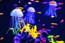 Beautiful Colorful Jellyfish In Aquarium