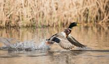 Mallard, Duck, Anas Platyrhync...