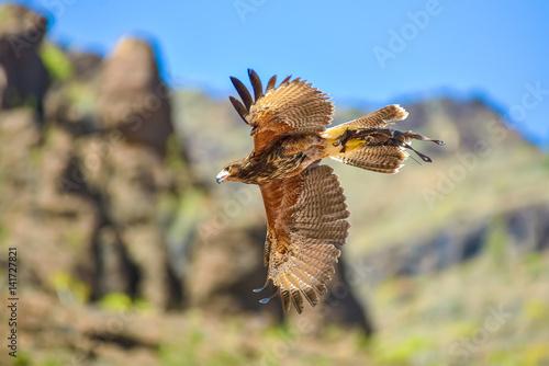 Photo  Falcon in free flight in animals park in Gran Canaria, Spain