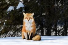 Red Fox Sitting On Snow In Winter