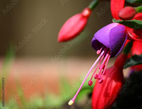 Fotografía  'fucsia in fiore'