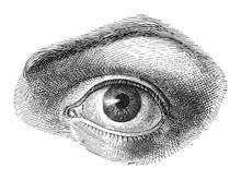 Human Eye - Vintage Illustration