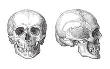 Human Skull / Vintage Illustra...
