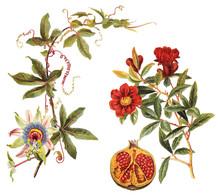Left: Blue Passion Flower (Passiflora Caerulea) And Right: Pomegranate (Punica Granatum) / Vintage Illustration