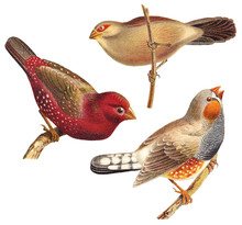 Bird Collection - Red Munia (A...