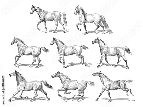 Fototapeta Horse collection / vintage illustration  obraz