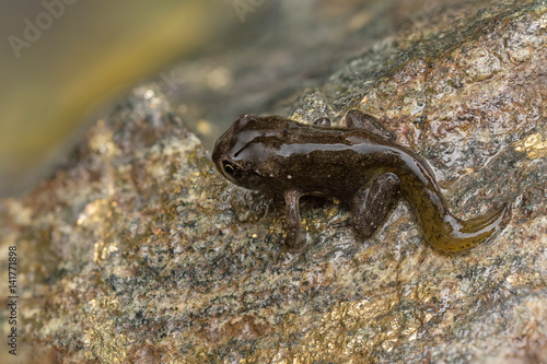 Tadpole metamorphosis to frog Tablou Canvas