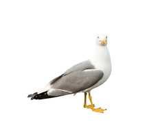 Seagull, Isolated On White Bac...