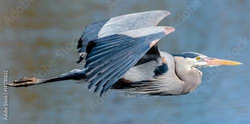 Fotografia Great Blue Heron in Flight