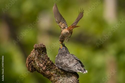Redstart bird feeds insect to cuckoo