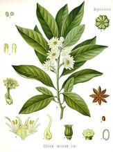 Illustration Botanique / Illic...
