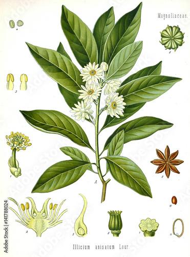 Plakaty botaniczne illustration-botanique-illicium-anisatum-anis-etoile-badiane