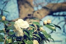 Camellia White Dove