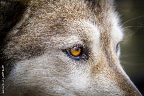 Canvas Prints Wolf Wolf and Wolf Dogs in Winter
