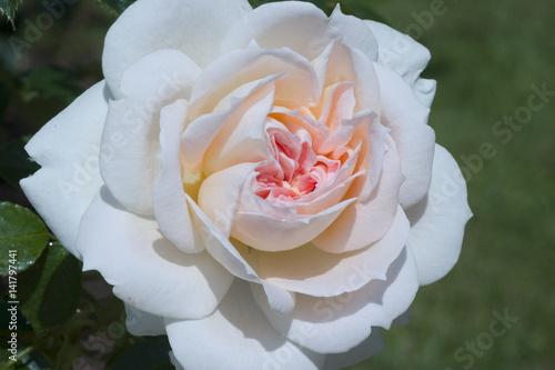 Rosa X Rose Mon Jardin Et Ma Maison Buy This Stock Photo And Explore Similar Images At Adobe Stock Adobe Stock
