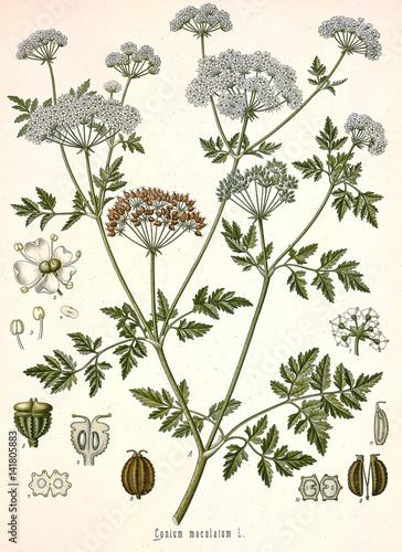 Plakaty botaniczne illustration-botanique-conium-maculatum-grande-cigue