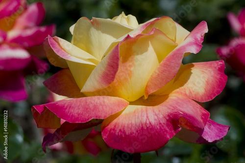 Rosa x / Rose 'Pullman Orient Express' Fototapeta