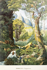 Panel Szklany Botaniczne Illustration botanique / Morenia poppigiana