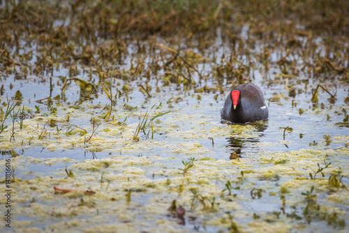 Common Gallinule, also called moorhen feeding in a mossy marsh area in Florida