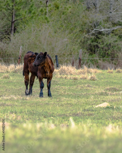 Photo  Angus calf to the left -vertical