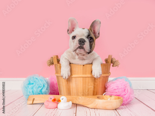 Staande foto Franse bulldog Cute french bulldog puppy in a wooden sauna bucket in a pink bathroom setting facing the camera