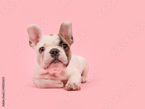 Staande foto Franse bulldog Cute white and brown french bulldog puppy lying down looking away on a pink background