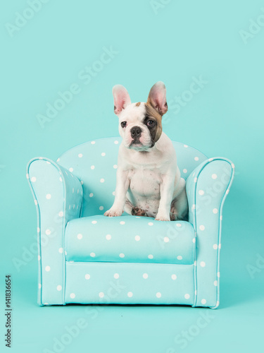 Deurstickers Franse bulldog Cute white and brown french bulldog puppy sitting in a blue chair on a mint blue background