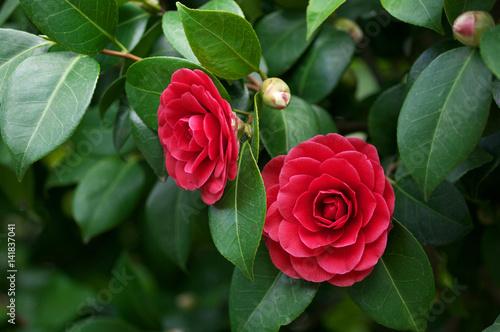 Camellia japonica flowers Fototapet
