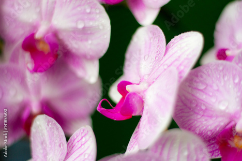Fototapety, obrazy: Beautiful Orchid Flower