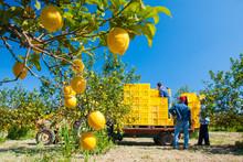 Closeup View Of Lemons On Tree...