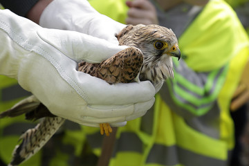 Common Kestrel, Falco tinnunculus, in the hands of a veterinarian