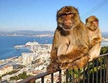 Two Barbary Macaques In Gibraltar Sitting On A Railing