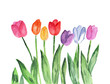 Abstract hand painted watercolor background with tulip flowers