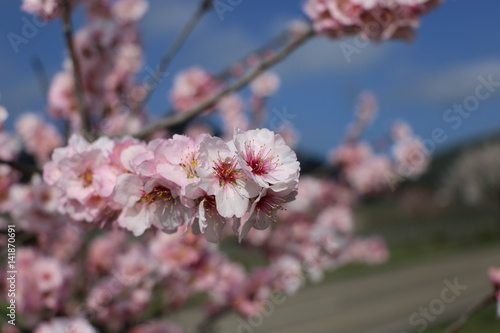 Mandelblüte in Gimmeldingen, Pfalz Poster