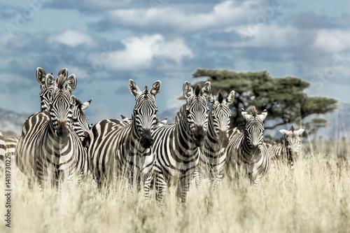 Acrylic Prints Zebra Herd of zebra in the wild savannah, Serengeti, Africa