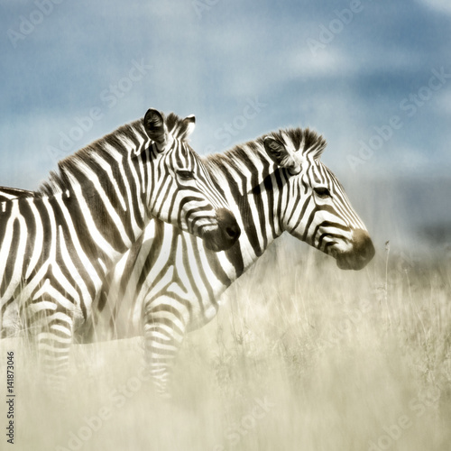 two-zebras-in-the-savannah-serengeti