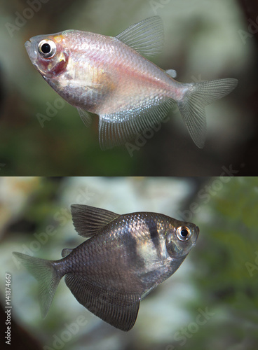 Photo  Photos of Both the Black Widow and White Tetra