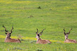 Three Kudus resting in the field. Addo Elephant National Park, South Africa